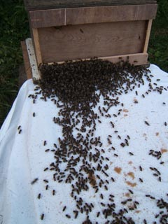 cornwall-roseland-beekeeping-2