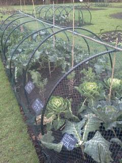 nettedcabbage