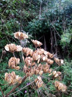 hogweed-seeds